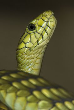 Even without the fangs extended, venom can flow into a green mamba's mouth–a good reason to keep human fingers away. Les Reptiles, Reptiles And Amphibians, Mammals, Wildlife Photography, Animal Photography, South Africa Wildlife, Types Of Snake, Cute Snake, Snake Venom