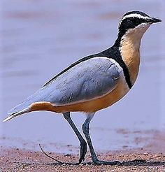 charadriinae   le pluvier egyptian plover in gambia collection oiseau bird
