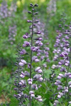 Baptisia 'Purple Smoke' Wild indigo from North Creek Nurseries