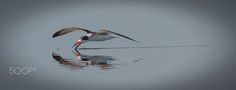 Skimmer - A Black Skimmer skims the water surface to catch small fish at Merritt Island in Florida.