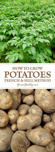 What could be more satisfying than the flavor of freshly dug potatoes lifted straight from your own garden? See how to grow potatoes using the traditional trench and hill method.