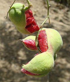 Red Guamuchil, Pithecellobium Dulce Tree,  Madras Thorn, Manila Tamarind