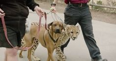 Dogs and Cats Living Together: Cheetah and Dog Still Friends After All This Time