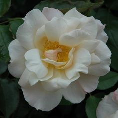 Chanelle (Bush Rose) | Roses | Peter Beales Roses - the World Leaders in Shrub, Climbing, Rambling and Standard Classic Roses