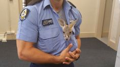 A baby kangaroo orphaned by his mum has found a new home, that is in the arms of a young Australian police officer.