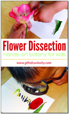 Dissecting a flower is a great hands-on botany lessons to teach kids the parts of a flower #botany #handsonlearning #GiftOfCuriosity || Gift of Curiosity