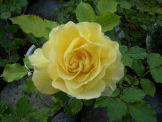 a beautiful Rose!