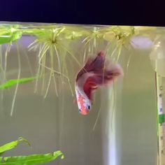 It's beautiful Betta fish - FitShop Tropical Fish Aquarium, Freshwater Aquarium Fish, Beautiful Creatures, Animals Beautiful, Siamese Fighting Fish, Pet Fish, Beautiful Fish, Beautiful Pictures, Paludarium