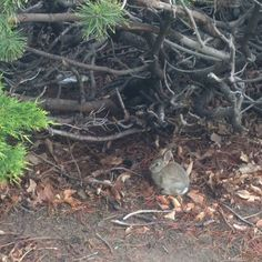 Baby bunny. Little lapin. Cute coney. #rabbit #babyanimals