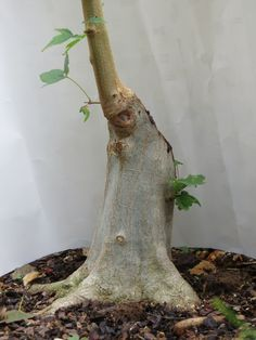 Flowering bonsai plants can be developed from seed or cuttings or also from young trees. Flowering bonsai plants require feeding, watering pruning and training. Flowering Bonsai Tree, Bonsai Tree Care, Bonsai Tree Types, Bonsai Plants, Bonsai Garden, Bonsai Trees, Garden Pots, Pre Bonsai, Mini Bonsai
