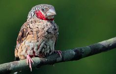 """Cut throat Finch () is a small bird species (2 -4"""" long) who lives in Australian rainforests & open grass fields. They eat seeds, insects & fruits."""