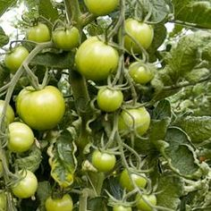 An easy recipe to make green tomato chutney - the perfect way to use up and preserve a glut of green tomatoes. Green Tomato Chutney Recipe, Green Tomato Recipes, Red Tomato, Green Chutney, Tomato Plant Diseases, Sunflower Butter, Healthy Sauces, Nigel Slater, Chutney Recipes