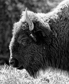 Tips for Black and White Wildlife Photography For the Home Bison-Porträt Color Photography, Wildlife Photography, Animal Photography, Photography Poses, Bizarre Animals, Animals And Pets, Animal Spirit Guides, Spirit Animal, Buffalo Pictures