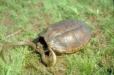 Common Snapping Turtle vs Snake
