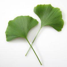 Gingkoblätter aus Goethes Garten. Flora Print, Plant Leaves, Herbs, Natural, Plants, Gardening, Photo Illustration, Herb, Plant