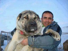 Kangal on Pinterest | Kangal Dog, Anatolian Shepherd and Cute animals