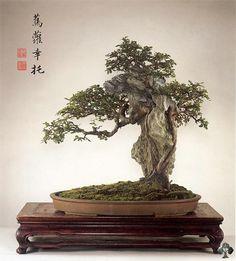 Orme de Chine (Ulmus parviflora)