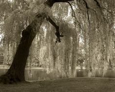 I love Weeping Willows