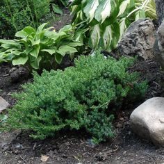 *All orders to California will be shipped bare root in accordance with their state regulations. This is probably the best bonsai-style Juniper Tall Potted Plants, Bonsai Plants, Fall Plants, Petunia, Bonsai Styles, Asian Garden, Palmiers, Colorful Garden, Plantation