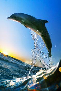 """canislupvs: """" The Game (edited) - by : Vitaly Sokol """" Dolphin Images, Dolphin Photos, Dolphin Art, The Ocean, Ocean Life, Orcas, Zoom Wallpaper, Baby Dolphins, Water Animals"""
