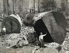 look at the size of the trees, back then--now there are hardly any old growth trees left in oregon