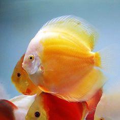 Cichlid Aquarium, Aquarium Fish, Colorful Fish, Tropical Fish, Discus Fish, Fish Care, Aquarium Decorations, Angel Fish, Beautiful Fish