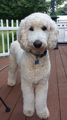 """Now I look like a lamb, lowers my prestige!"" #dogs #pets #StandardPoodles Facebook.com/sodoggonefunny"