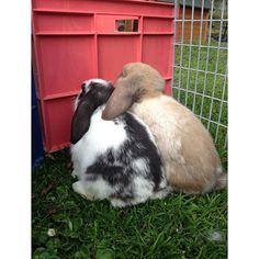 sophiehannahbutt: #Cute #bunnies #babybunnies #sisters #inlove