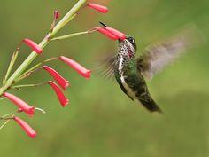 Foto bico-reto-de-banda-branca (Heliomaster squamosus) por Júlio Silveira | Wiki Aves - A Enciclopédia das Aves do Brasil