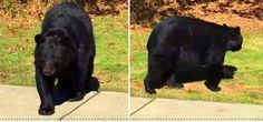 Homem manda urso cair fora e ele obedece (Vídeo) - Hipernovas