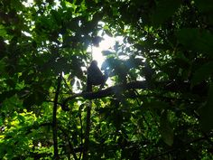 Spider monkey silhouette in Corcovado National Park - Costa Rica