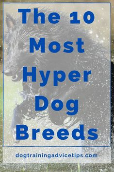 If you are planning to adopt a dog that will fit your lifestyle, make sure that you choose the right breed. Here is a list of the 10 most hyper dog breeds. #dogtips #dogs #dogfacts Hyper Dog, Dog Facts, The 10, Dog Training Tips, Dog Breeds, Adoption, How To Plan, Lifestyle, Fit