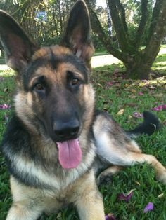 german Dogs of War   German Shepherd - Copper