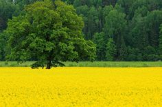 Oak Tree and Yellow Colza Flowers Field Spring Landscape Scenery Poster Art Silk Fabric Wall For Home Decoration Print Picture $10.37