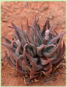 Aloe Krapohliana - Indigenous South African Succulent - 10 Seeds | Seeds for Africa