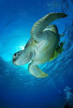 Honu, Hawaiian Green Sea Turtle