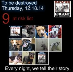 TO BE DESTROYED: 9 Dogs to be euthanized by NYC ACC- THURS. 12/18/14. This is a HIGH KILL shelter group. YOU may be the only hope for these pups! ****PLEASE SHARE EVERYWHERE!To rescue a Death Row Dog, Please read this: http://urgentpetsondeathrow.org/must-read/ To view the full album, please click here: https://www.facebook.com/media/set/?set=a.611290788883804.1073741851.152876678058553&type=3
