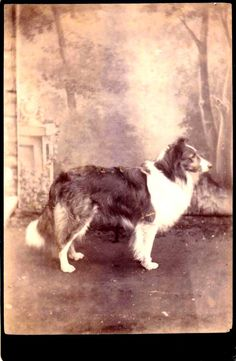 Vintage Doggy: Cabinet Photo of a Collie