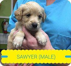 Joplin Mo Golden Retriever Mix Meet Sawyer A Puppy For