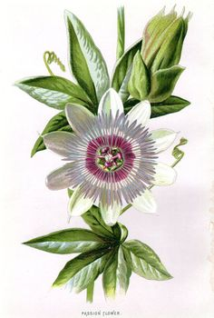 1887 Antique Botanical Print Passion Flower by AntiquarianPrints, $15.00