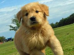 Puppy Breed: Golden Retriever    Hi my name is Riley! I am from Monticello, New York. I have a huge appetite and currently weigh 70 pounds. My primary diet consists of dog food and bones, but I also enjoy couches, stuffing in stuffed animals, and leather shoes. I can sit, lay, shake, and roll over on command, but only when there is something in it for me, like a bone. I am usually well behaved and play well with others. I am very affectionate and love to give kisses. I have a kennel to sleep…