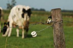 Cow, steenwijk. The Netherlands.
