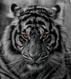 Strength through calmness Tiger Eyes Tattoo, White Tiger Tattoo, Tiger Tattoo Design, Tiger Design, Lion Tattoo Sleeves, Best Sleeve Tattoos, Tiger Drawing, Tiger Art, Big Cats Art