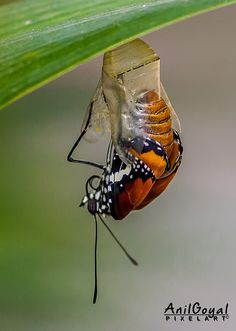 Plain tiger emerging out of Pupa Butterfly Hatching, Butterfly Cocoon, Magic Wings, Moth Caterpillar, Great Shots, Shoulder Tattoo, Dragonflies, Amazing Nature, Nature Photos