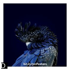 This striking wildlife poster features a cheeky red-tailed black cockatoo with the blue in its feathers enhanced looking out at the viewer with its feathers puffed out against a dark blue background. #StudioDalio fine art photography prints home decor