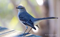Mockingbird - showing off at the Chapel Trail Preserve, Hollywood, Florida;  photo by Denis Rivard, via 500px