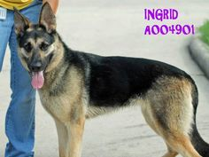 Adopted! 5-23-15. :-) Calling all GS lovers. Meet Ingrid who is a very nice dog turned in by her owner because he got a new puppy and doesn't want two dogs. (Go figure.) Ingrid is waiting for a better owner at the Conroe Animal Adoption Center. Pinned 5-22-15.