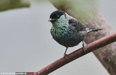 ズグロアオフウキンチョウ Black-capped tanager (Tangara heinei )