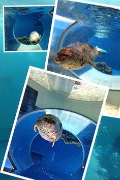 のとじま水族館 ゴマフアザラシ
