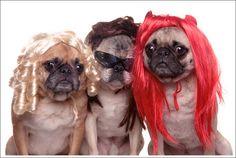 #pug #deguisement #hair